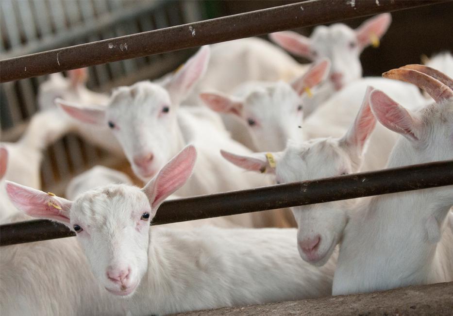 Des chèvres dans le Poitou