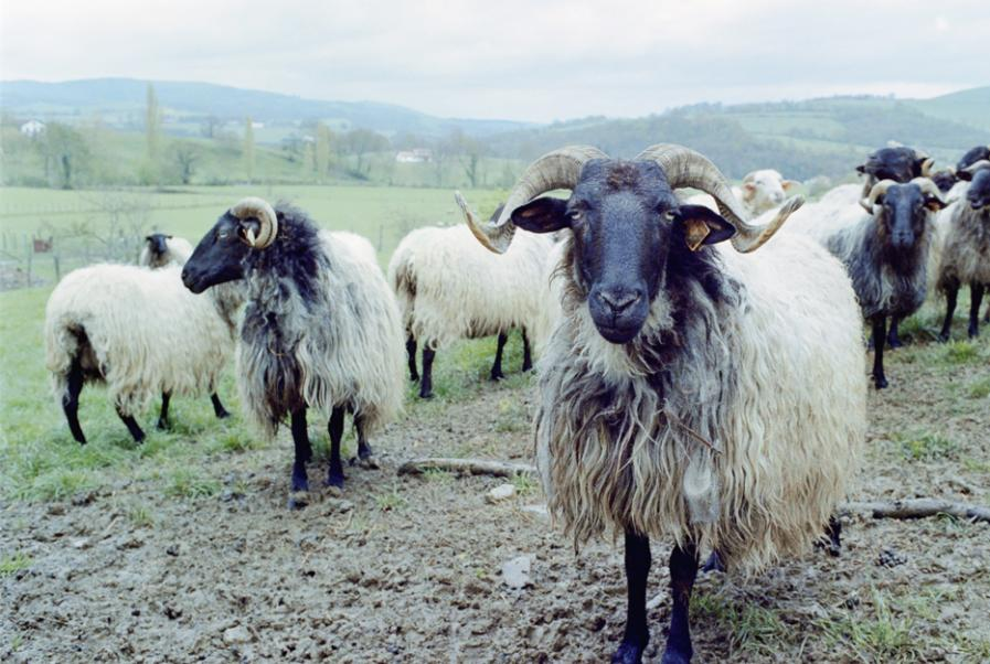 The Pyrenees sheep